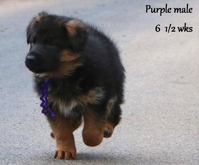 Blast x Quila - 6 and Half Weeks Purple Collar Male 3