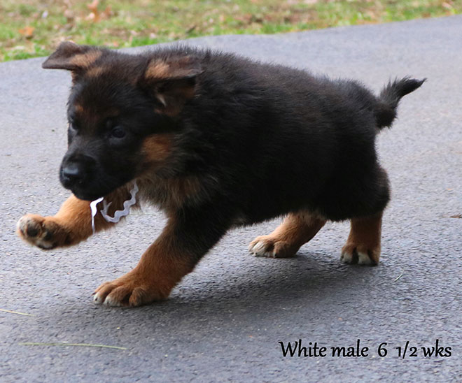 Blast x Quila - 6 and Half Weeks White Collar Male 2