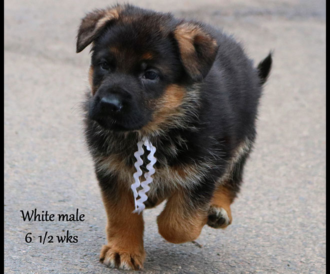 Blast x Quila - 6 and Half Weeks White Collar Male 3