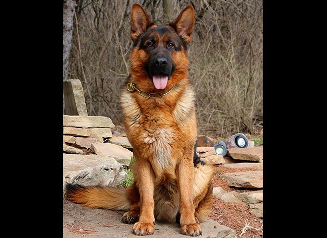 Mittelwest Adult Male For Sale - Ben vom Cohinor sitting