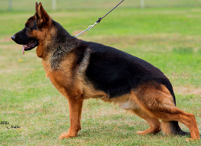 Mittelwest Adult Male For Sale - Ben vom Cohinor