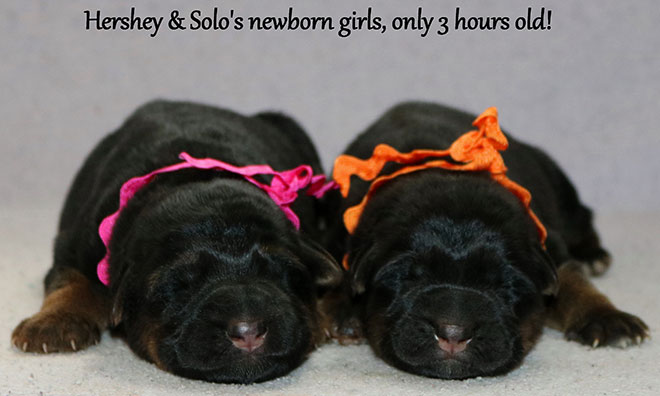 Solo X Hershey - Newborn Girls
