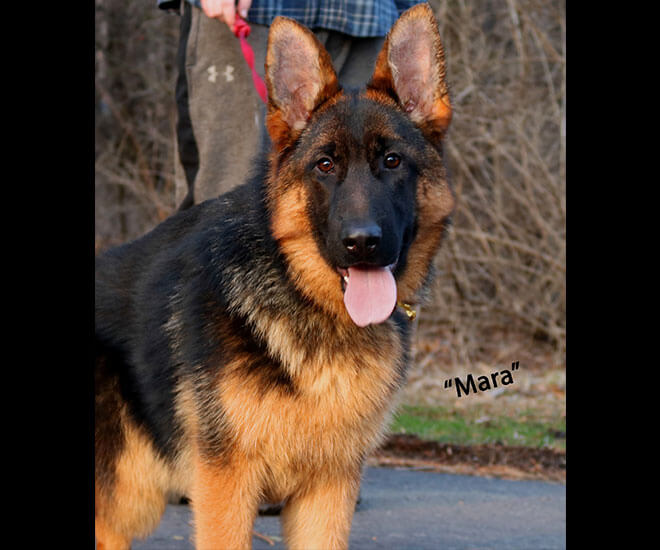 Solo x Coby - 6 Months Gold Collar Litter Mara Stand
