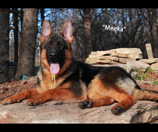 Solo x Coby - 6 Months Yellow Collar Litter Meeka