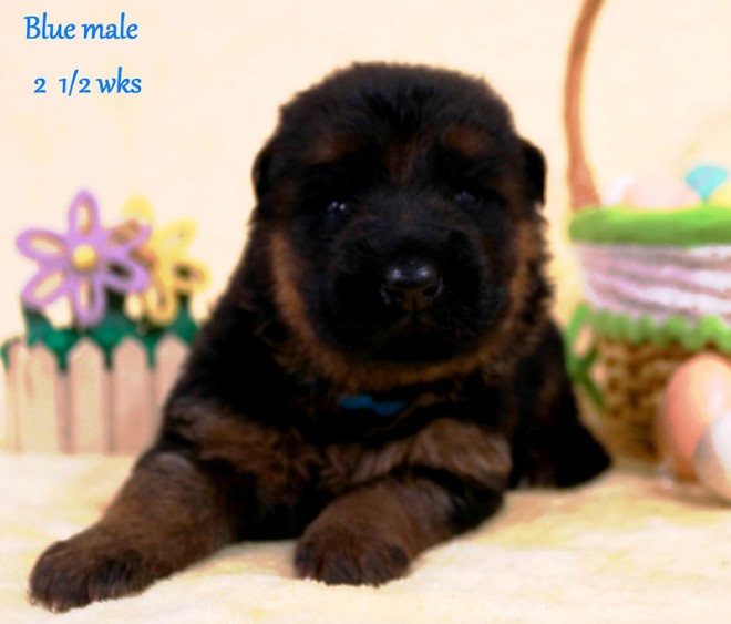 Solo x Sansa - 2 and Half Week Blue Collar Male