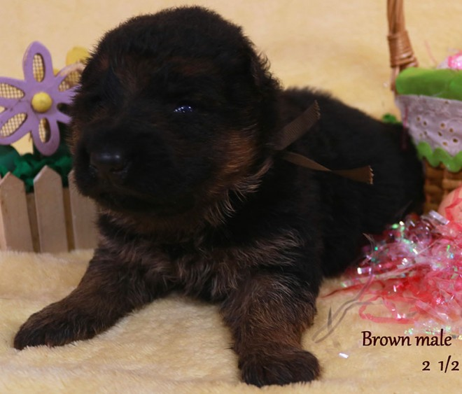 Solo x Sansa - 2 and Half Week Brown Collar Male