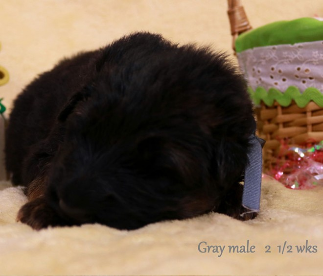 Solo x Sansa - 2 and Half Week Gray Collar Male