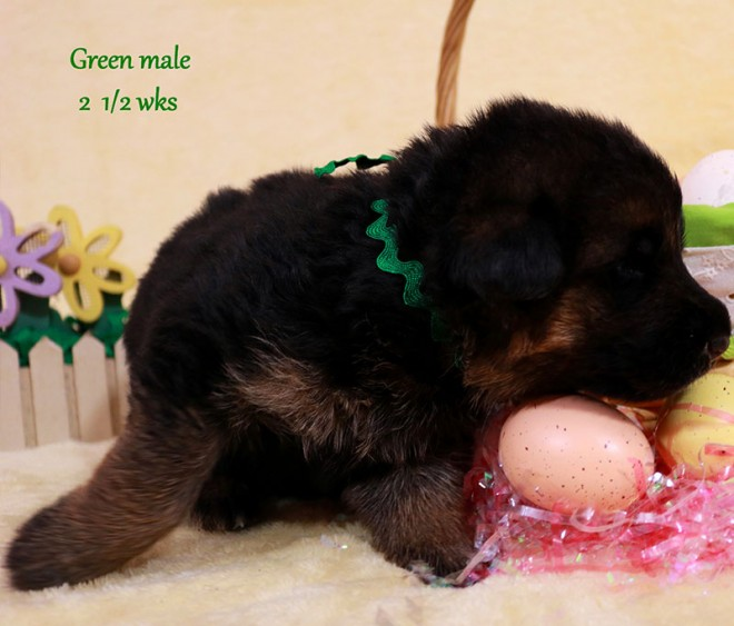 Solo x Sansa - 2 and Half Week Green Collar Male