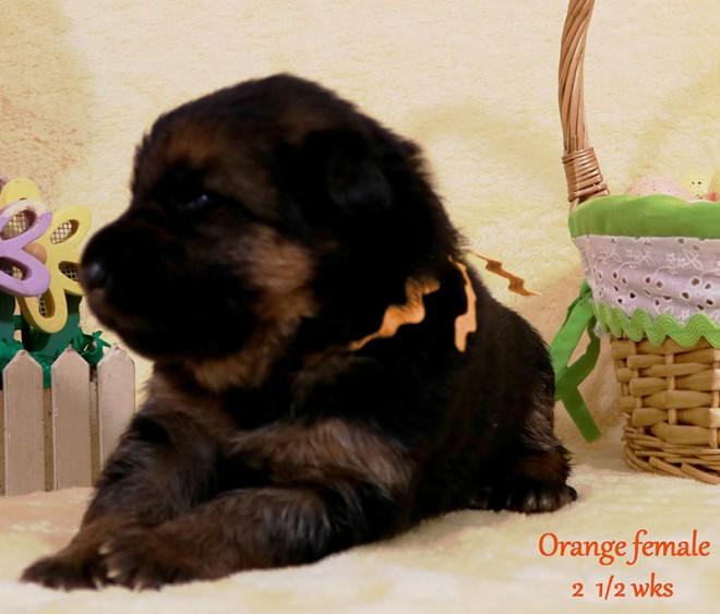 Solo x Sansa - 2 and Half Week Orange Collar Female
