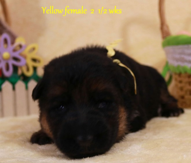 Solo x Sansa - 2 and Half Week Yellow Collar Female