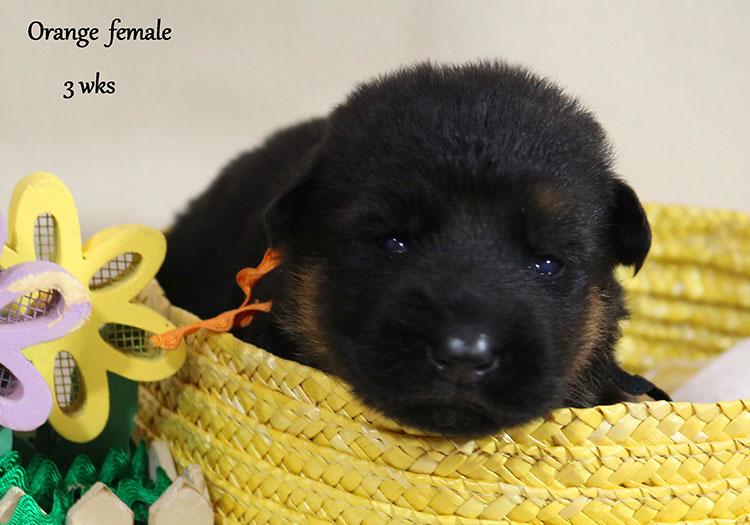 Solo x Twitter - 3 Weeks Orange Collar Female