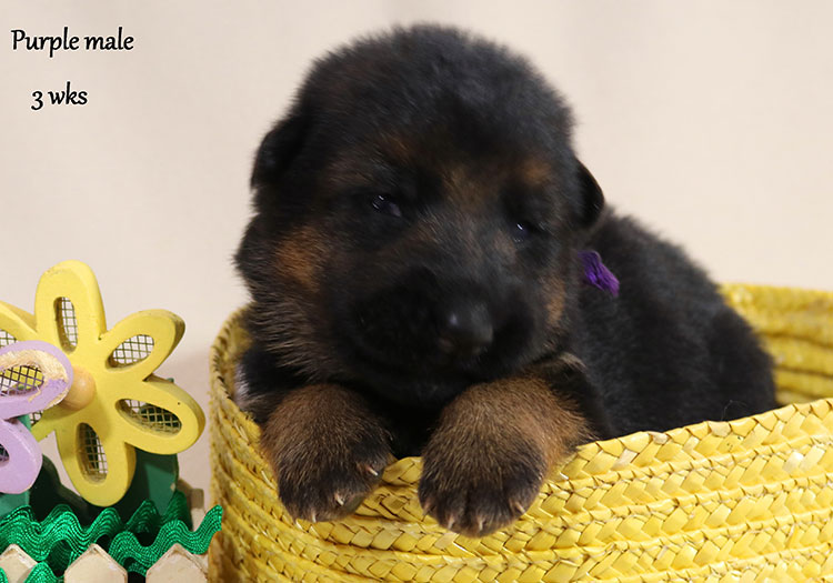 Solo x Twitter - 3 Weeks Purple Collar Male