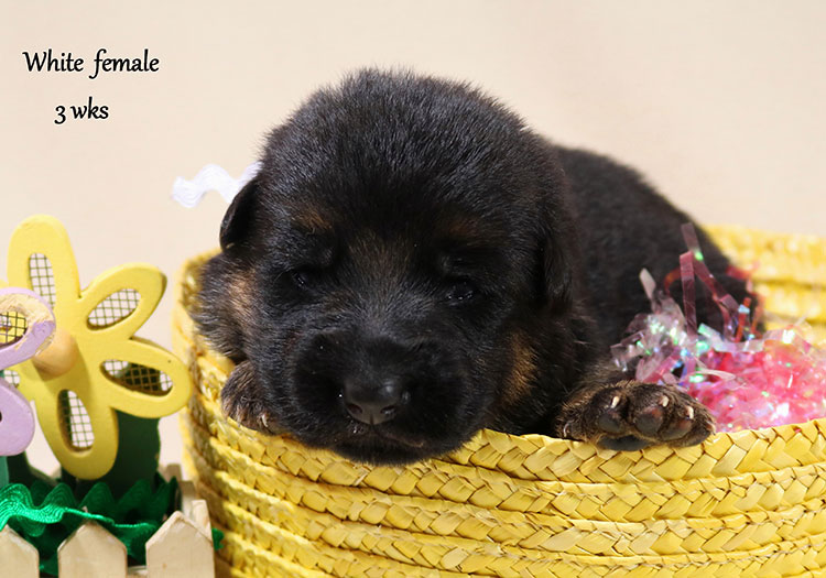 Solo x Twitter - 3 Weeks White Collar Female