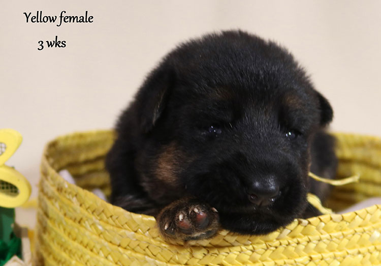 Solo x Twitter - 3 Weeks Yellow Collar Female