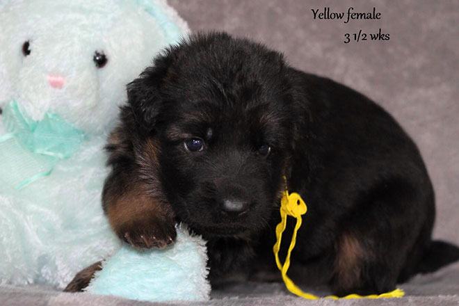 Ursus x Debbie - 3 and Half Weeks Yellow Collar Female