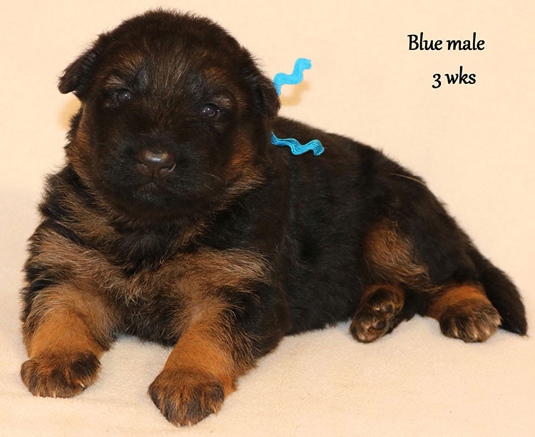 Blast x Rookie - 3 Weeks Blue Collar Male