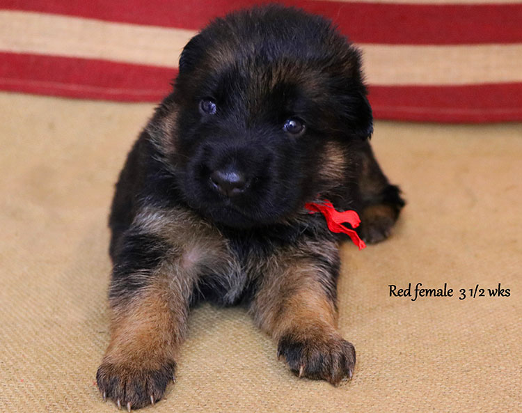 Ikon x Lizzy - 3 and Half Weeks Red Collar Female