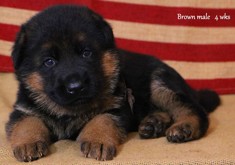 Ikon x Xtra - 4 Weeks Brown Collar Male