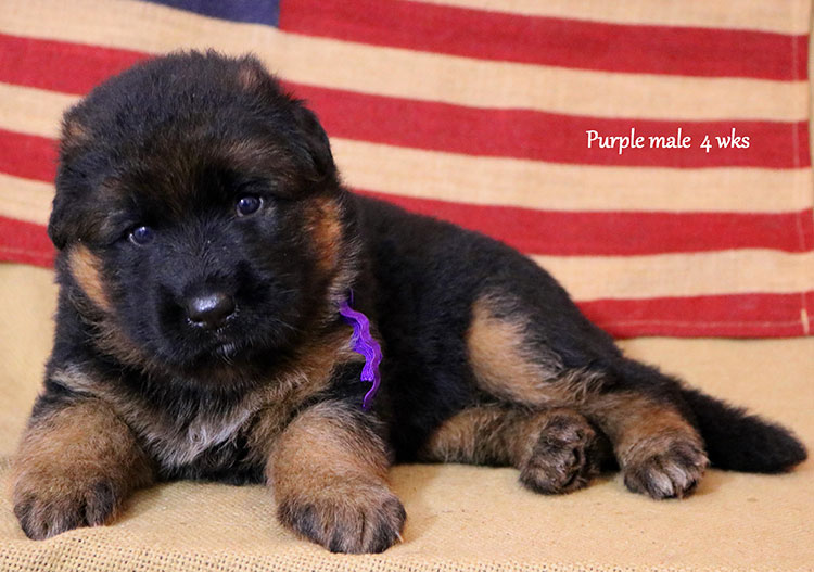 Ikon x Xtra - 4 Weeks Purple Collar Male