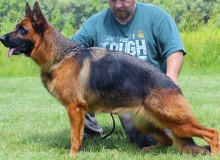 Mittelwest Retired Adult Female For Sale - Vanna vom Mittelwest