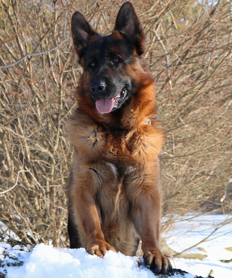 Mittelwest Adult Male For Sale - Hodor vom Mittelwest Sit 2
