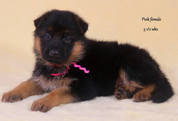 Solo x Hershey - 5 and Half Week Pink Collar Female