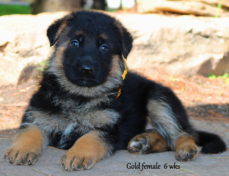 Solo x Twitter - 6 Weeks Gold Collar Female