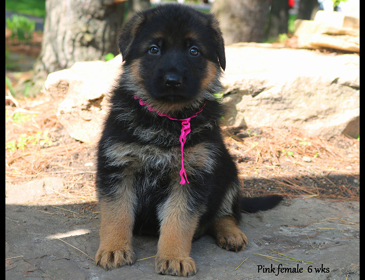 Solo x Twitter - 6 Weeks Pink Collar Female