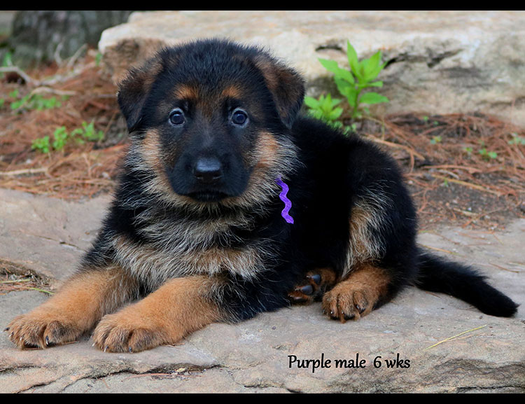 Solo x Twitter - 6 Weeks Purple Collar Male