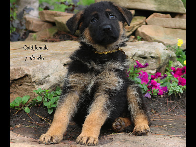 Solo x Twitter - 7 and Half Week Gold Collar Female 3