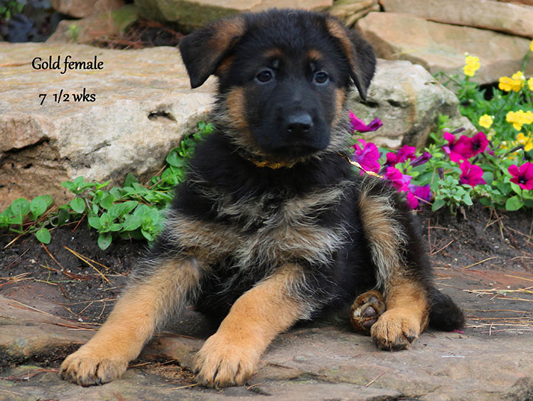 Solo x Twitter - 7 and Half Week Gold Collar Female