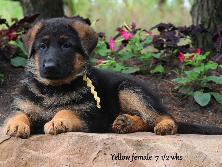 Solo x Twitter - 7 and Half Week Yellow Collar Female 2