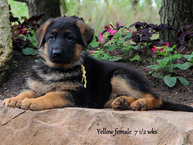 Solo x Twitter - 7 and Half Week Yellow Collar Female