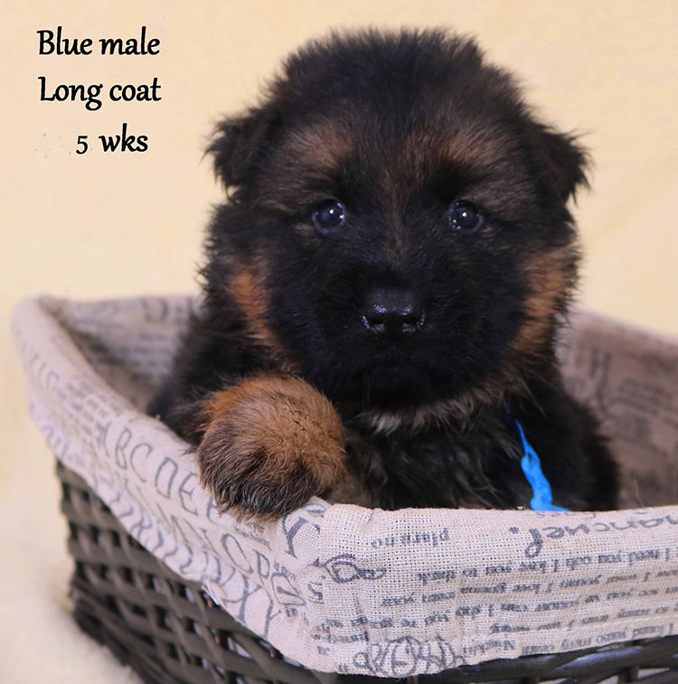 Solo x Xarla - 5 Weeks Blue Collar Male