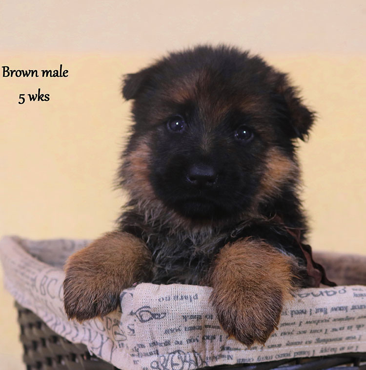 Solo x Xarla - 5 Weeks Brown Collar Male