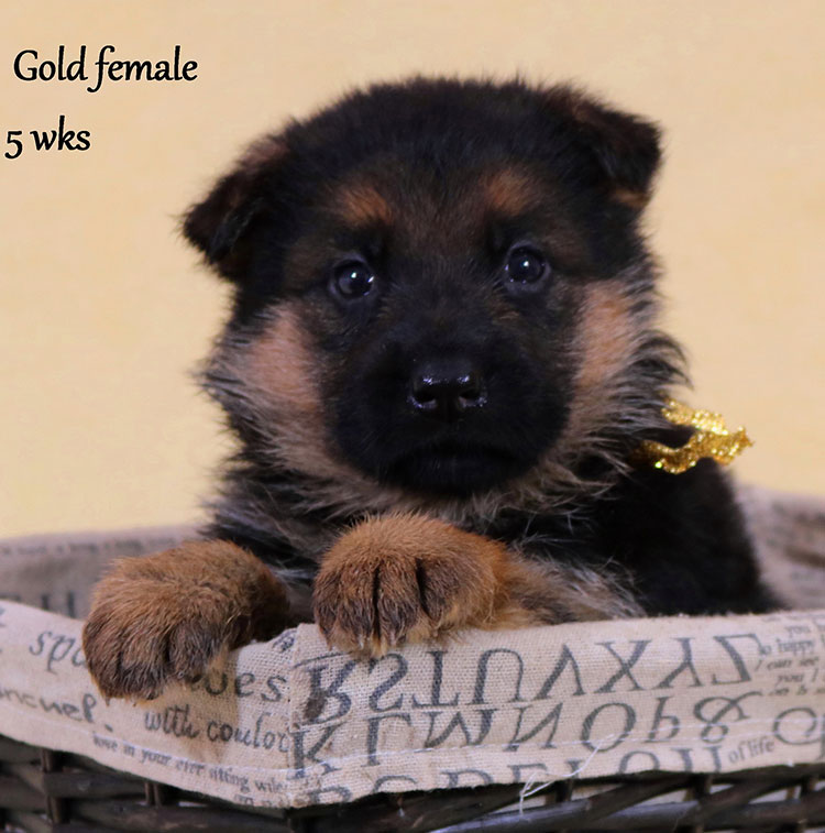 Solo x Xarla - 5 Weeks Gold Collar Female