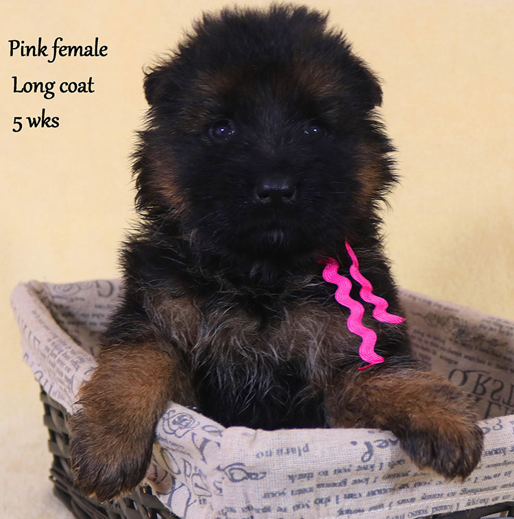 Solo x Xarla - 5 Weeks Pink Collar Female