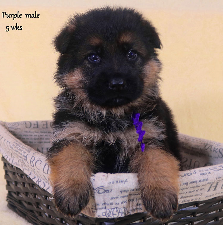 Solo x Xarla - 5 Weeks Purple Collar Male