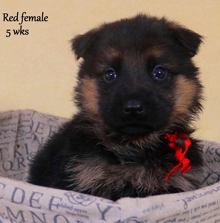 Solo x Xarla - 5 Weeks Red Collar Female