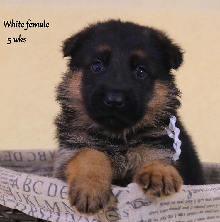 Solo x Xarla - 5 Weeks White Collar Female 2