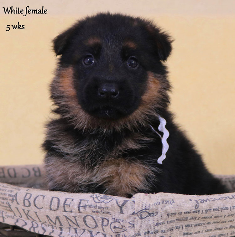 Solo x Xarla - 5 Weeks White Collar Female