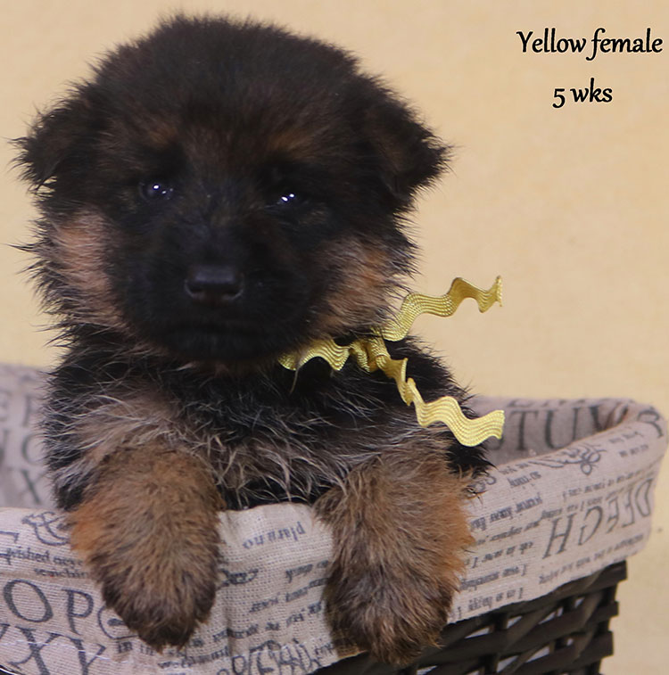 Solo x Xarla - 5 Weeks Yellow Collar Female