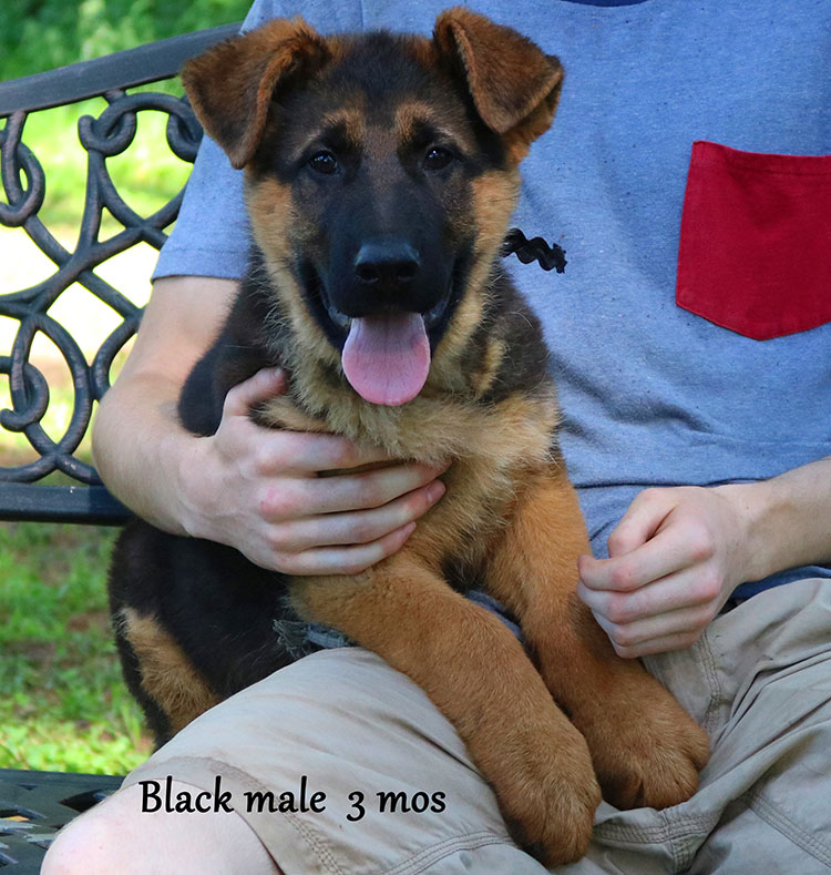 Blast x Quila - 3 and Half Month Black Collar Male
