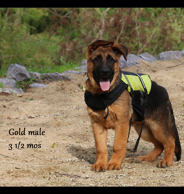 Blast x Quila - 3 and Half Month Gold Collar Male 2