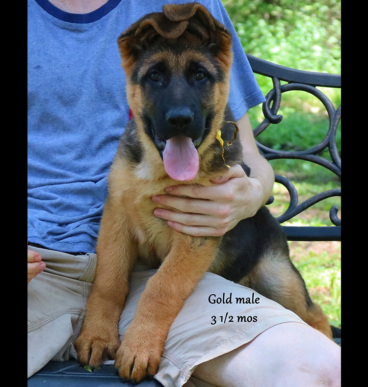 Blast x Quila - 3 and Half Month Gold Collar Male