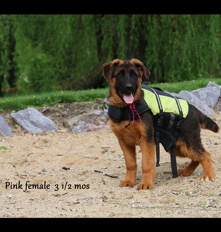 Blast x Quila - 3 and Half Month Pink Collar Female