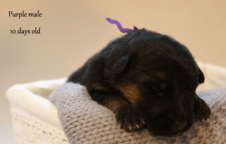 Figo x Bing - 10 Days Purple Collar Male