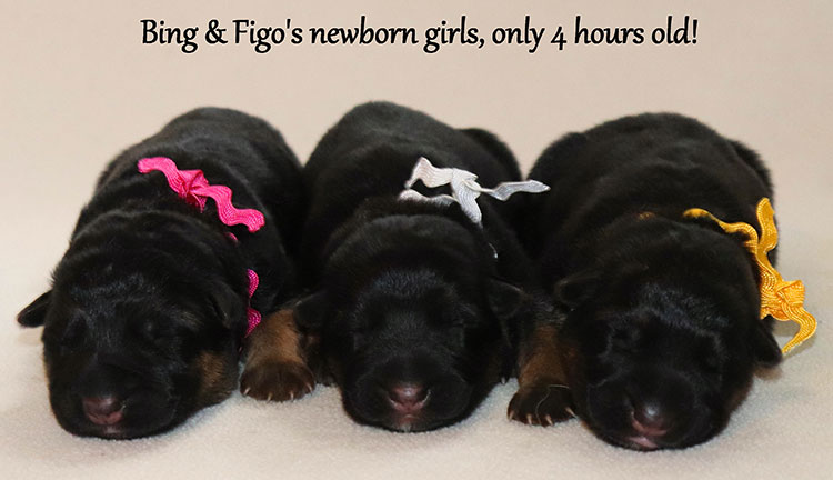 Figo x Bing - Newborn Girls