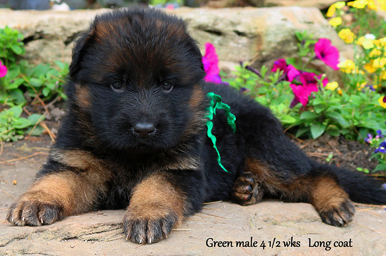 Ikon x Xtra - 4 and Half Week Green Collar Male