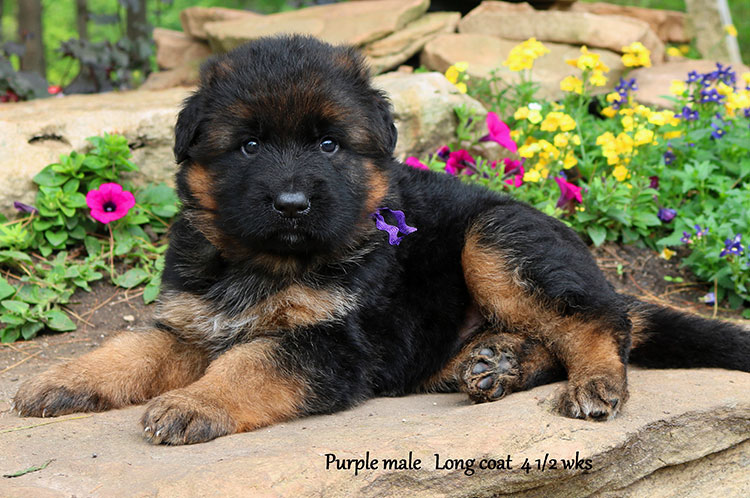 Ikon x Xtra - 4 and Half Week Purple Collar Male
